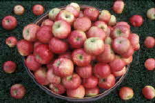Honeycrisp Apple Bushel
